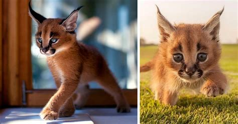 Beautiful Pictures Of Baby Caracals, One Of The Most