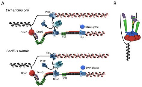 Genes | Free Full-Text | Control of Initiation of DNA