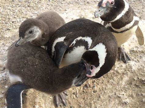 The number of single male Magellanic penguins is rising at