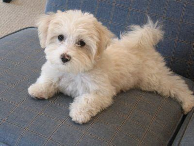 Wanted Female puppy Maltipoo White   Nottingham