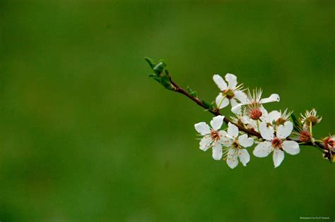 Free high resolution wallpapers - Spring flowers 2014