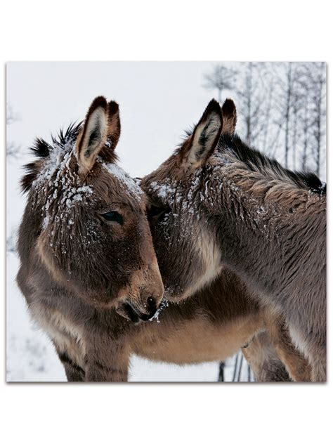Darkroom Snow Cow and Donkey Christmas Cards, Pack of 16