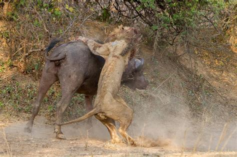 Amazing images capture brutal lion and buffalo fight in