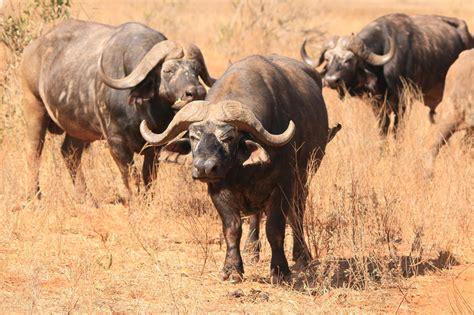Buffalo in Africa! Visit Africa
