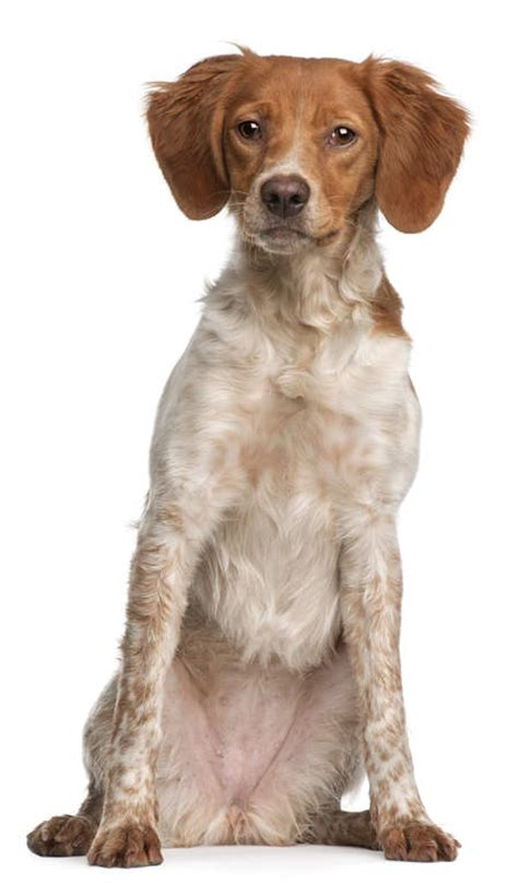 Brittany | Dogs | Breed Information | Omlet
