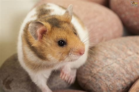 Some common hamster health problems | Pets4Homes