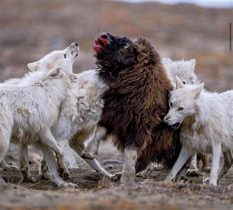 The Arctic Wolves | Owlcation